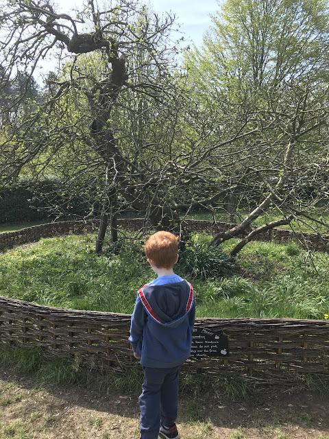 Little boy looking at an apple tree