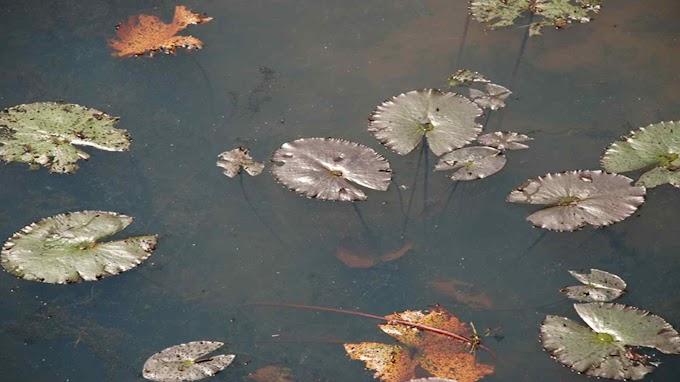 Nymphaea Micrantha