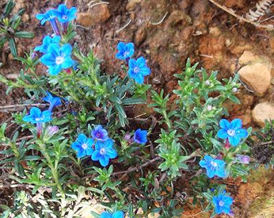 Carrasquilla azul (Lithodora diffusa)