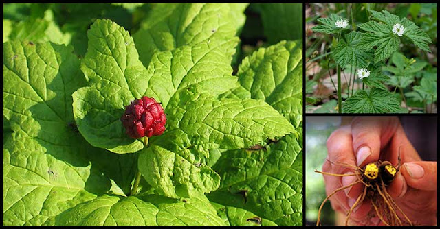 Goldenseal May Help Boost Overall Health