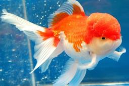 Fakta Unik Ikan Mas Koki
