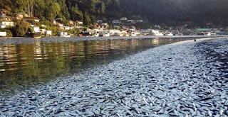 Ribuan Ikan Sarden mati di Sungai Queule Chile
