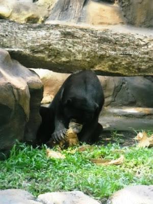Beruang madu yang sedang asik makan kelapa di Kebun Binatang Surabaya