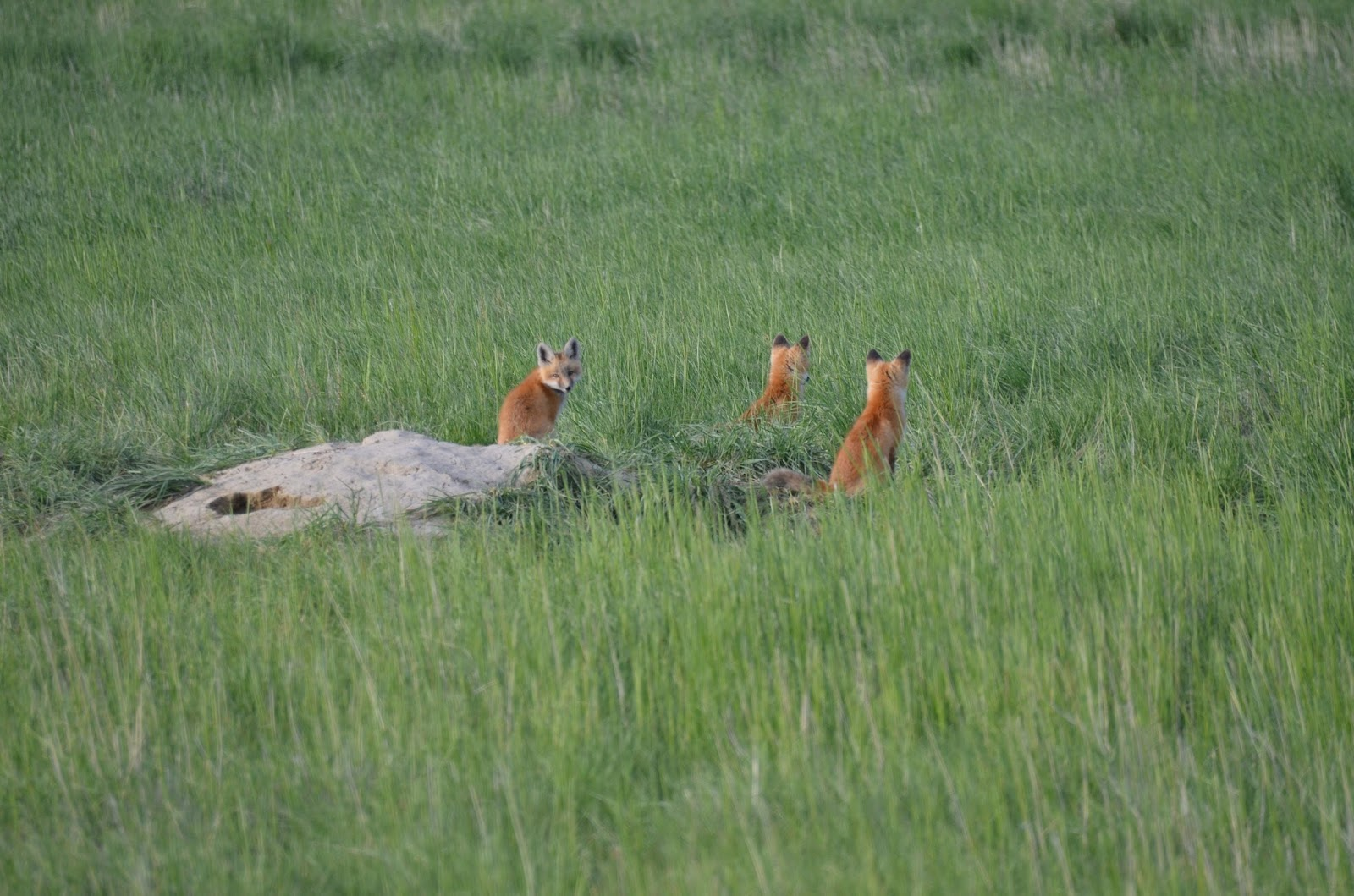 Picture of red fox den.