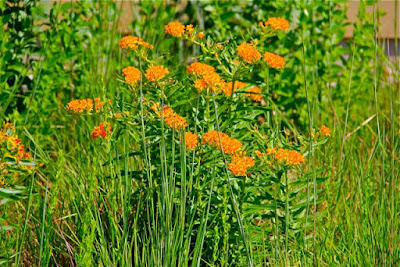 Butterfly-weed (Asclepius tuberosa)
