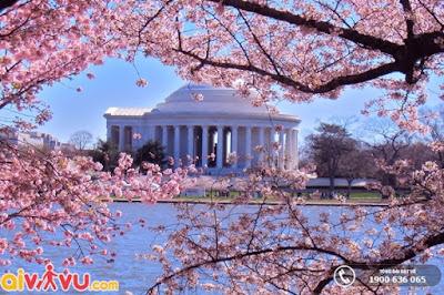 Hoa anh đào nở rộ tại Washington DC