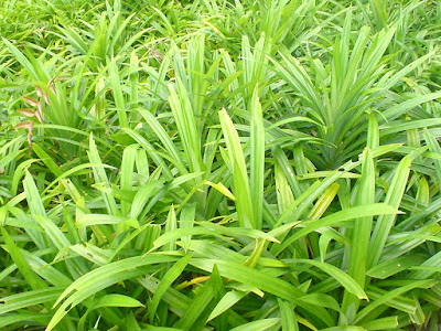 Top 10 Health Benefits of Pandan Leaves
