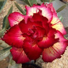 Gambar Bunga Adenium yang Unik dan Cantik 23