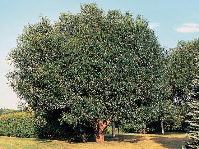 Salix pentandra träd