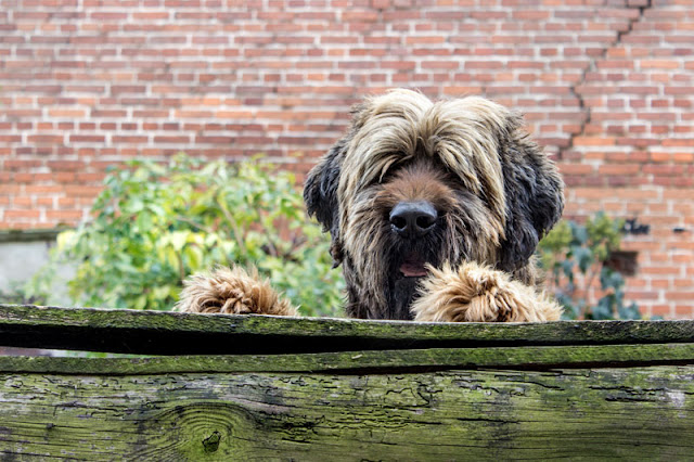 A dog peers over a physical fence - which is the type of fencing with fewer escapes, according to this study of escapes and dog bites