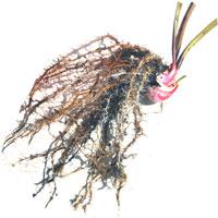 http://carnipedia.blogspot.com/p/coltivazione-propagazione-per-talea.html