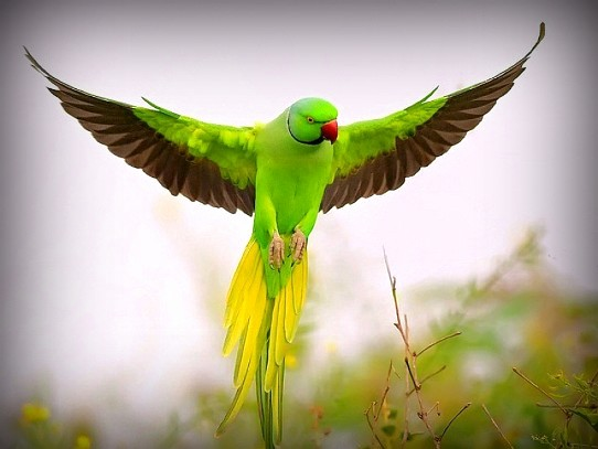 India The Land Of Hearts Indian Parrots Indian Ringneck Parakeet