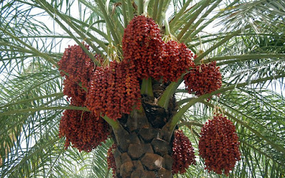 Date palm as anti starvation