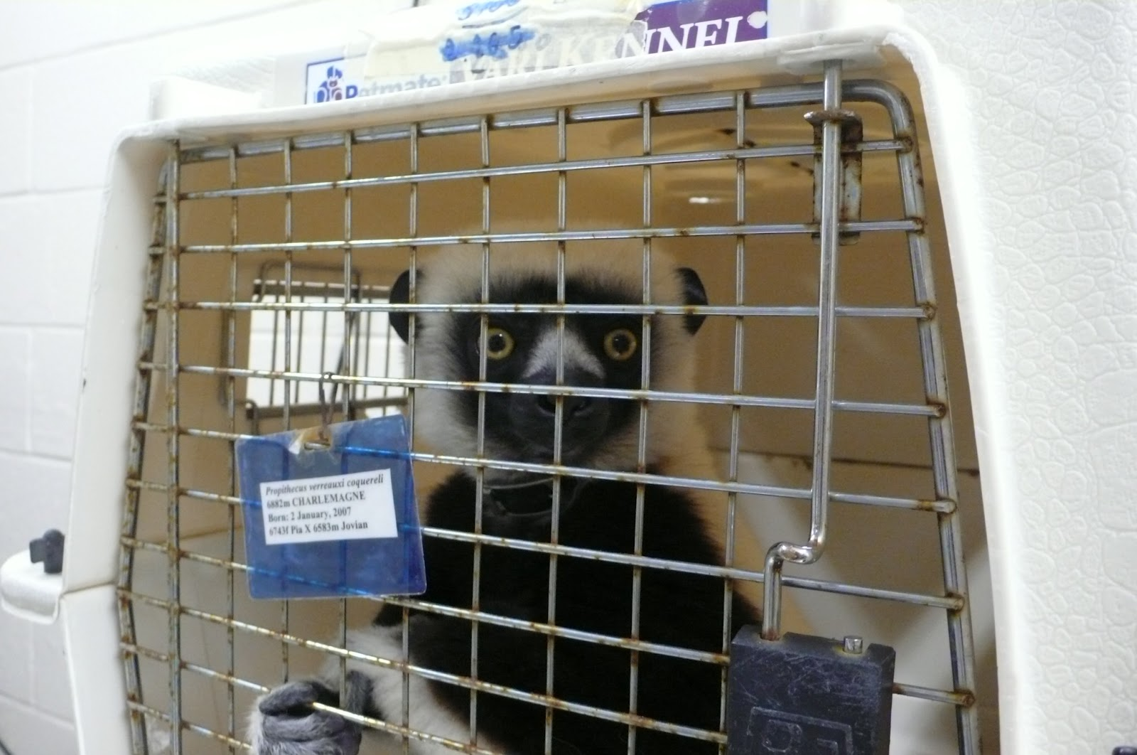 petvet: Zoboomafoo's son gets a root canal