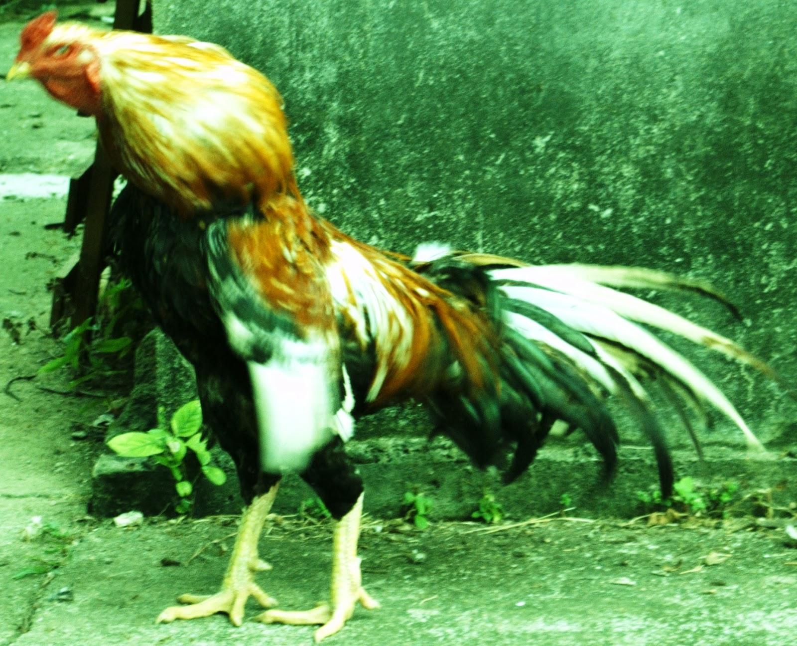 95 Gambar Ayam Laga