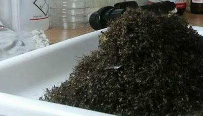 Hanya Enam Jam, Puluhan Ribu Nyamuk Berhasil Terperangkap