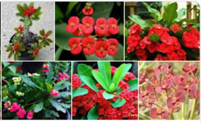 contoh Tanaman Euphorbia