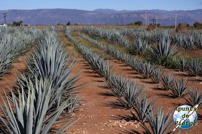 Campo de agave tequilana weber. Paisaje agavero.
