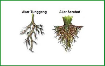 Gambar bentuk akar tunggang dan akar serabut