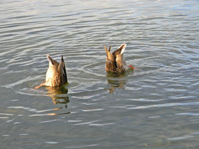 woda, jezioro, ptaki wodne, Niesłysz