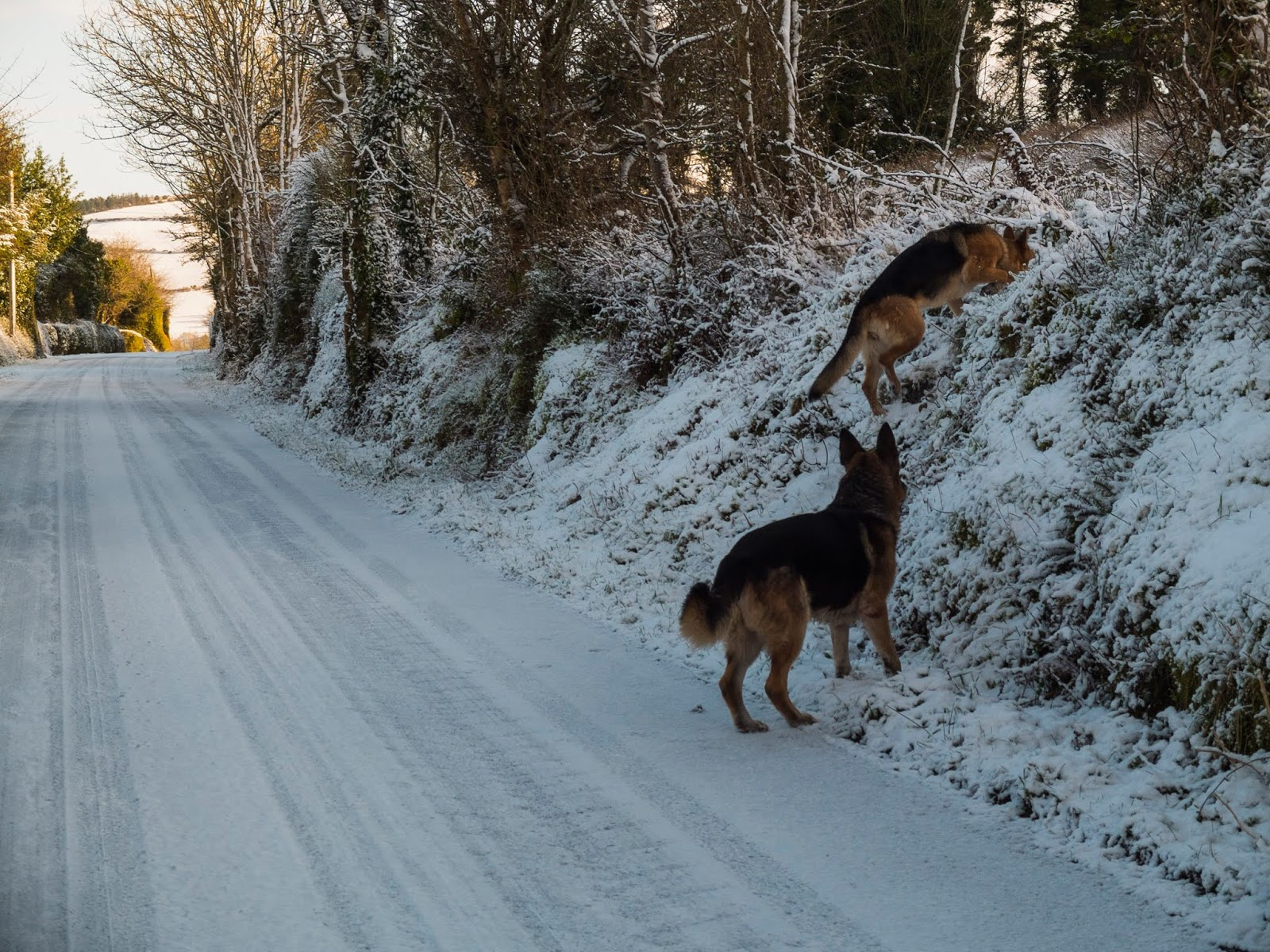 Two German Shepherds climbing over the ditch on a snowy morning.