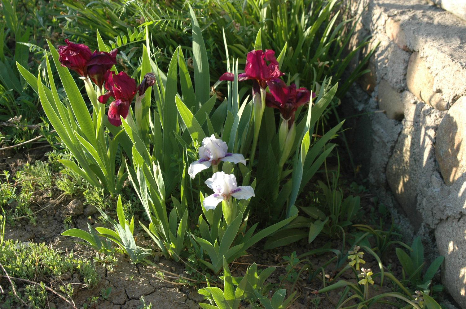 Roche Fleurie Garden Cherry Garden Portrait Of An Iris