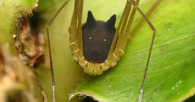 Laba-laba Dengan Tubuh Seperti Kepala kelinci