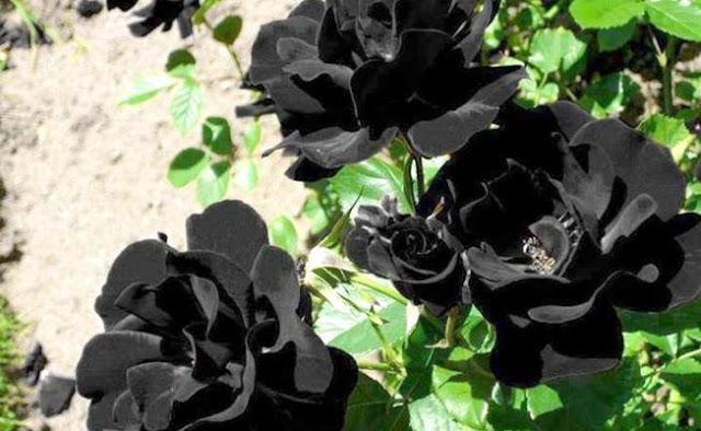 Upoznajte se sa prelepom crnom ružom