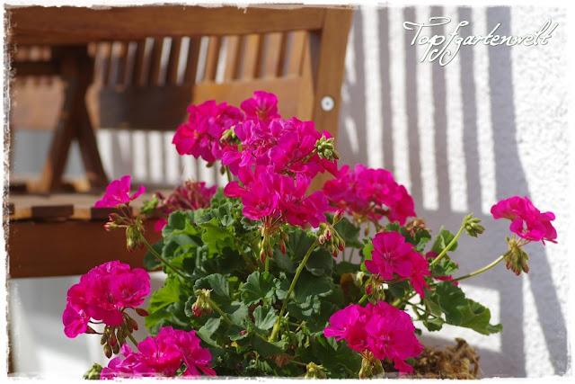 Gartenblog Topfgartenwelt Topfgarten: Pelargonien im großen Topf auf der Terrasse
