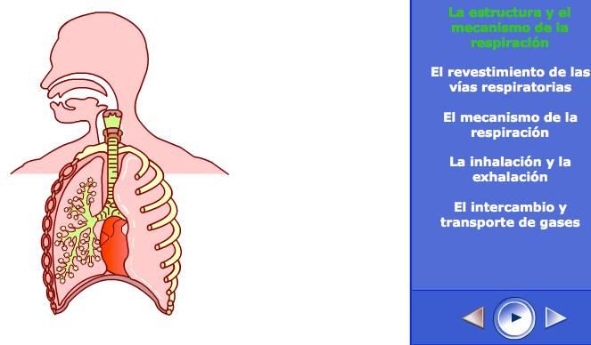 http://skoool.es/content/ks4/biology/breathing_respiration/breathing_respiration/launch.html