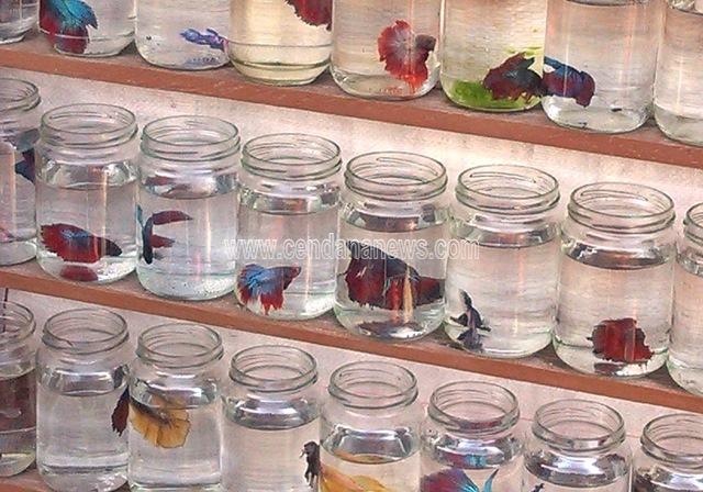 Tak Hanya Petarung Ikan Cupang Juga Layak Jadi Hiasan Akuarium Cendana News