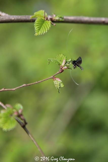 l'Adela reaumurella ou adèle verdoyante mâle , ENS de la Rochette, (C) Greg Clouzeau