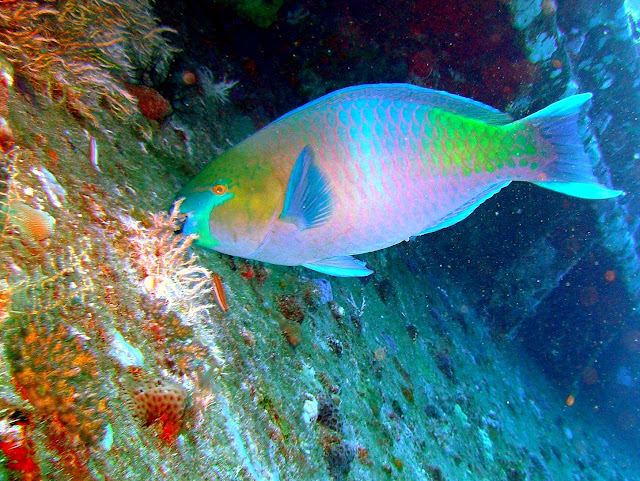 parrotfish, rosalie moeller wreck, WW II, egypt, northern red sea