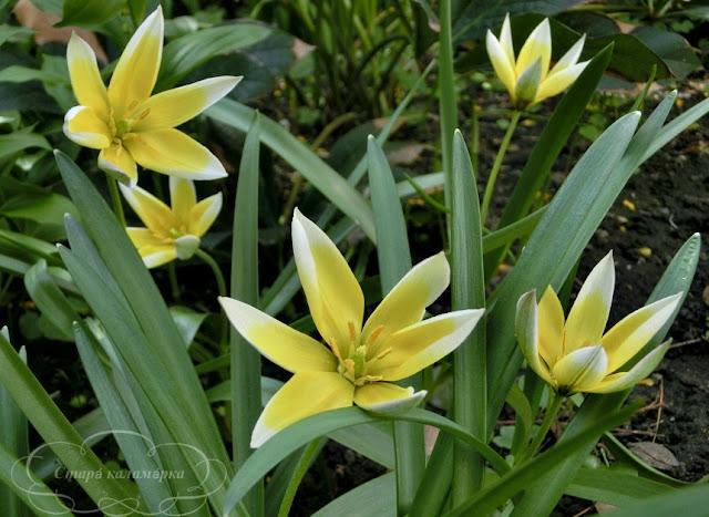 тюльпан Dasystemon Tarda, тюльпаны, сад, цветник, тюльпаны в саду, сорта тюльпанов, фото тюльпанов