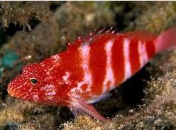 Ikan Hias Air Laut Hawkfish