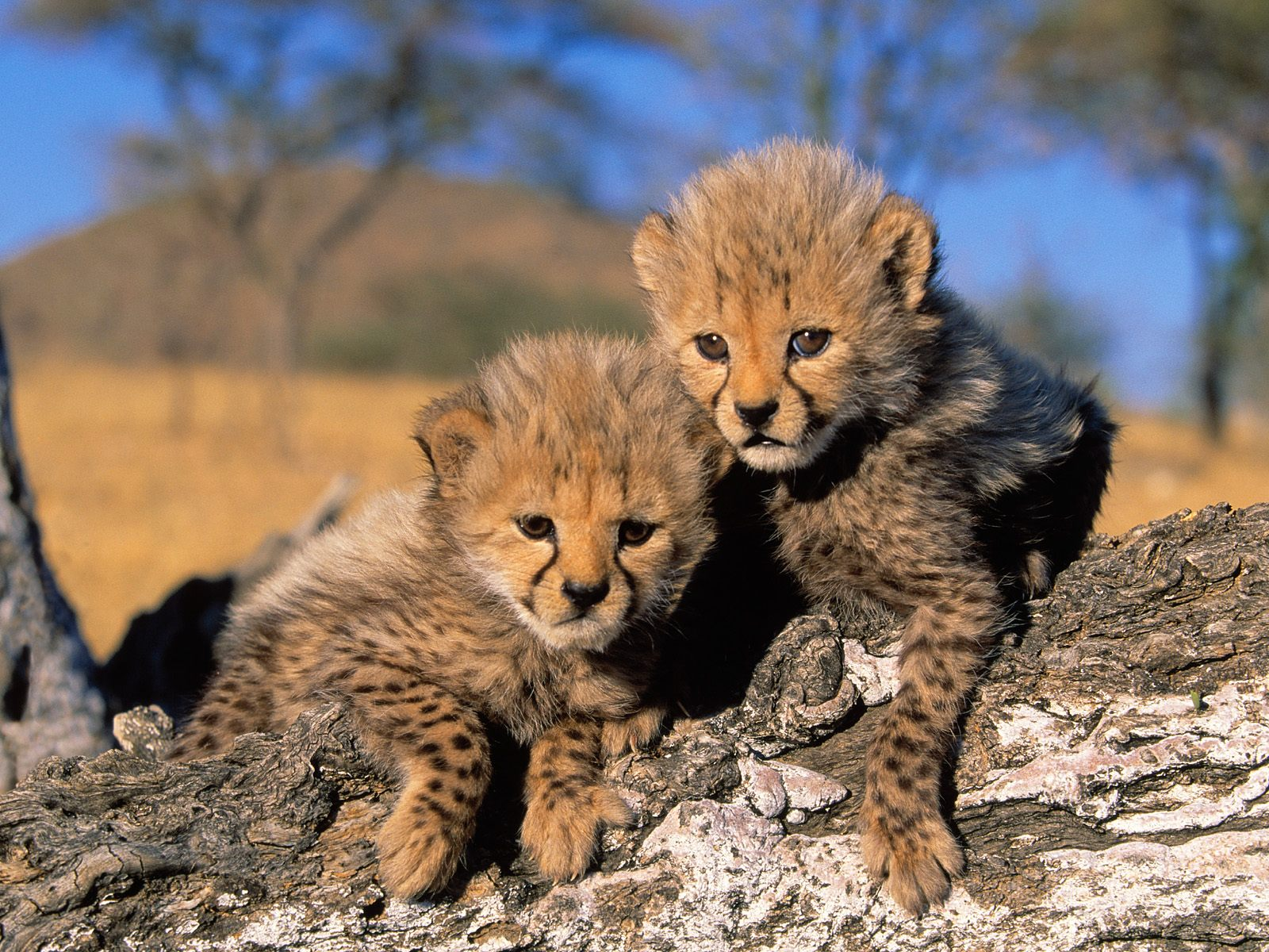 of cheetahs,cheetah cubs, cheetah picture,facts about cheetahs ...