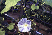 Ipomoea, plant family Convolvulaceae, morning glory family