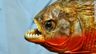 Video Ikan Piranha