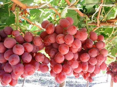 Manfaat Anggur Merah untuk Kesehatan dan Kecantikan