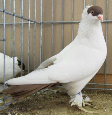Pigeon à calotte Français - muffed white tumbler