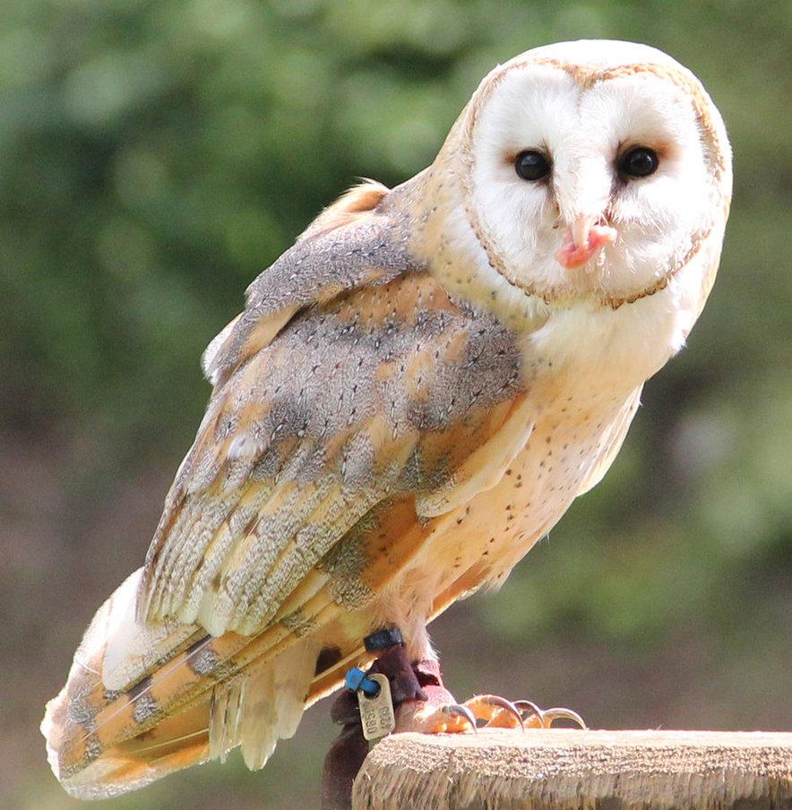 Barn Owl Beauty Of Bird