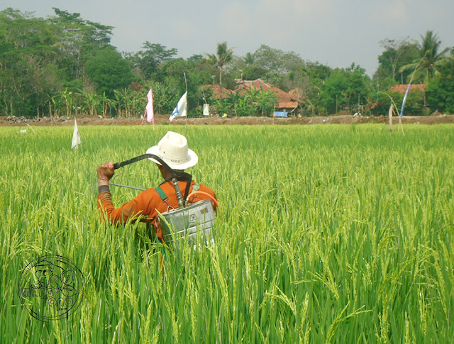 Picture of Indonesia farmer spraying pesticide in the rice field