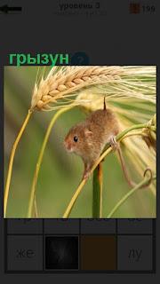 На колоске пшеницы ползет мелкий грызун коричневого цвета