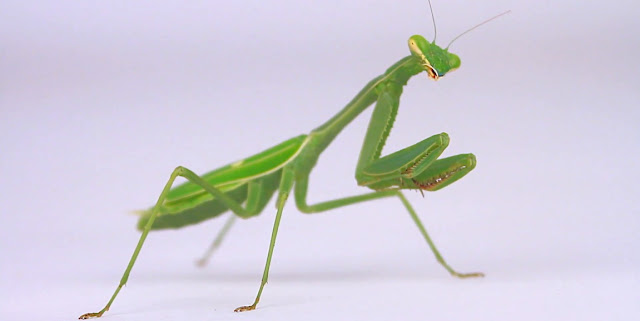 Mantideos e insectos