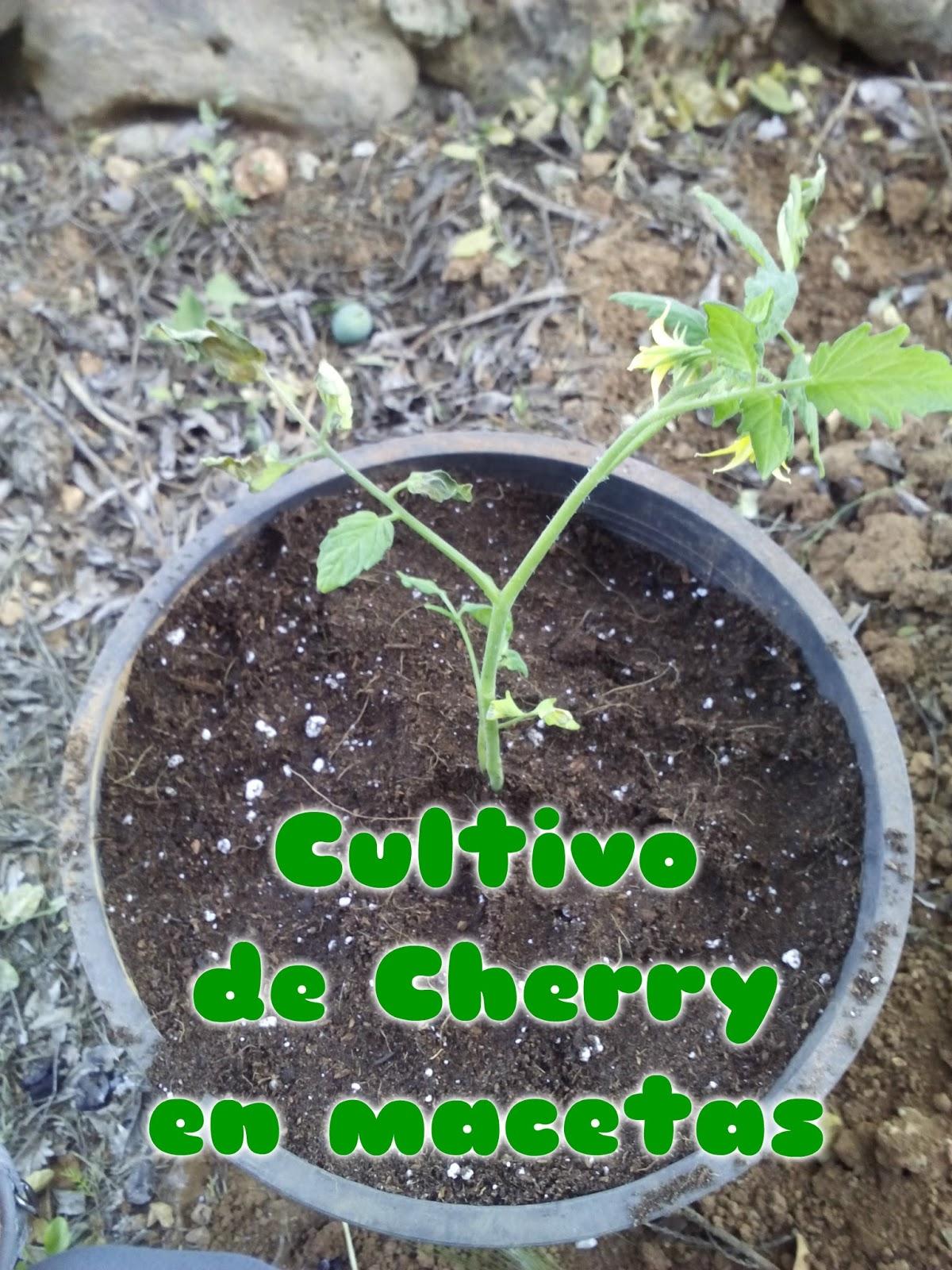 opcin para cultivar el tomate cereza si no podemos fabricar nuestro propio sustrato en las tiendas de jardinera y podemos encontrar