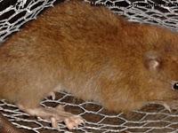 Tikus Terbesar di Dunia Ini Mampu Buka Kelapa dengan Giginya