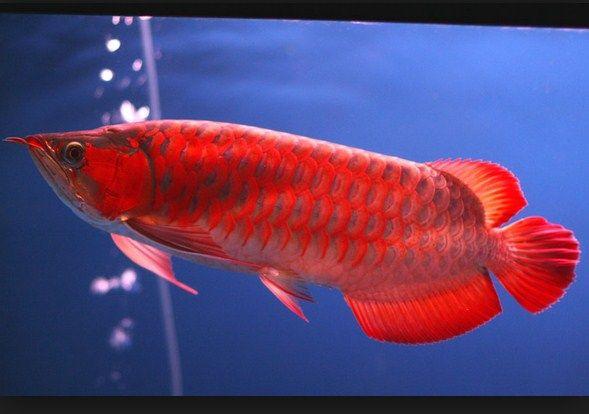 Ikan Hias Termahal Arwana