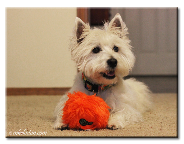 Westie with orange furry ball.