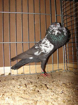 Lille Pouter-Boulant Lillois - cropper pigeons