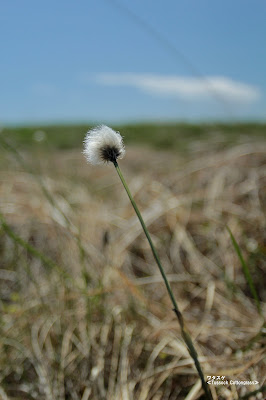ワタスゲ ≪Tussock Cottongrass≫
